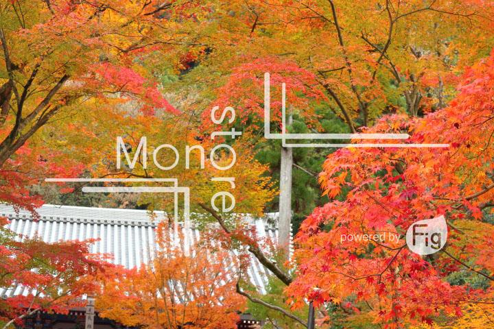 紅葉の写真 Autumn leaves Photography 3276