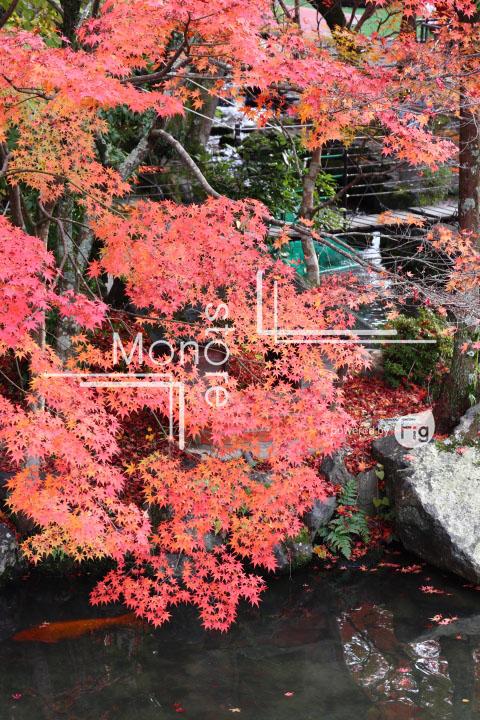 紅葉の写真 Autumn leaves Photography 3290