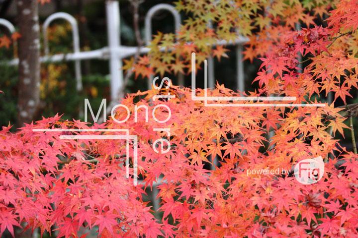紅葉の写真 Autumn leaves Photography 3291