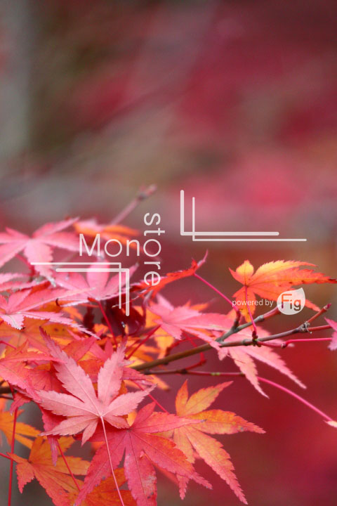 紅葉の写真 Autumn leaves Photography 3300