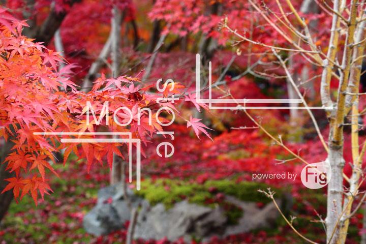 紅葉の写真 Autumn leaves Photography 3302
