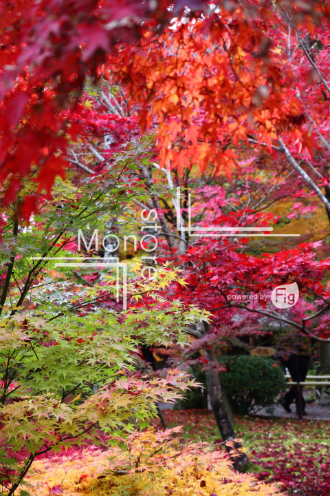 紅葉の写真 Autumn leaves Photography 3314