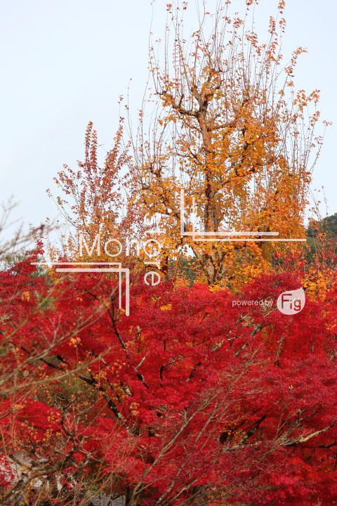 紅葉の写真 Autumn leaves Photography 3316