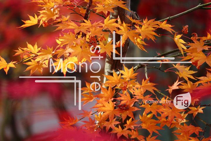 紅葉の写真 Autumn leaves Photography 3329