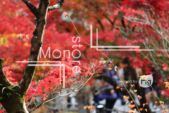 紅葉の写真 Autumn leaves Photography 3336