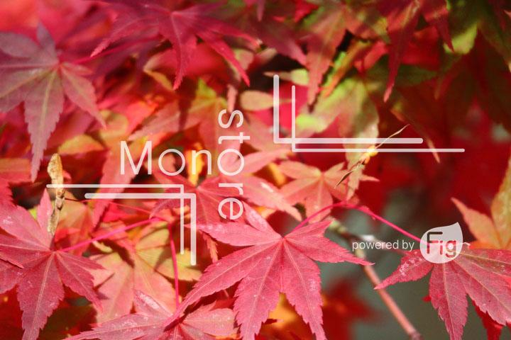 紅葉の写真 Autumn leaves Photography 3341