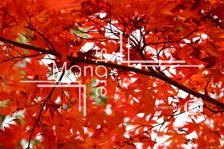 紅葉の写真 Autumn leaves Photography 3344