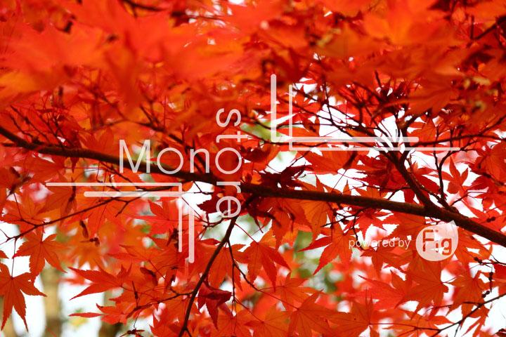 紅葉の写真 Autumn leaves Photography 3346