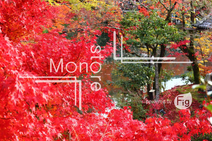 紅葉の写真 Autumn leaves Photography 3352