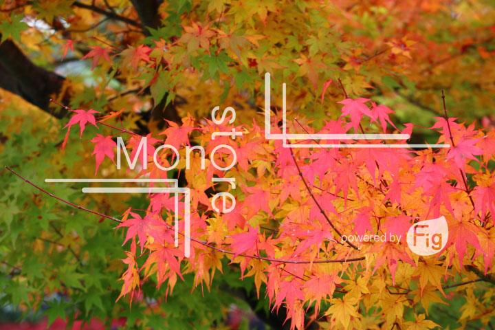 紅葉の写真 Autumn leaves Photography 3353