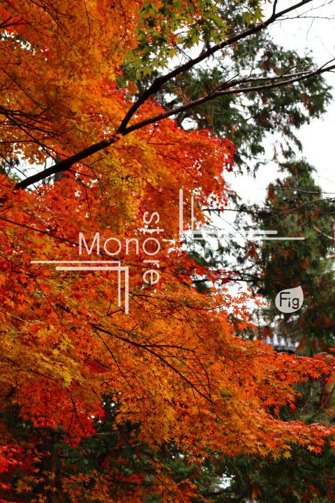 紅葉の写真 Autumn leaves Photography 3355