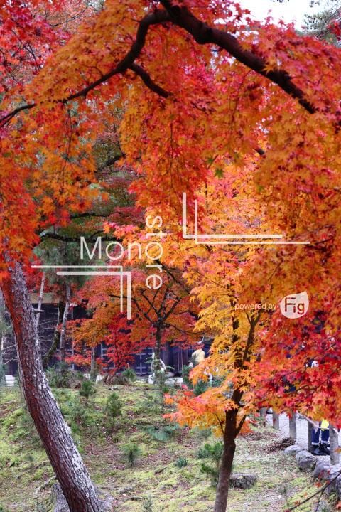 紅葉の写真 Autumn leaves Photography 3381
