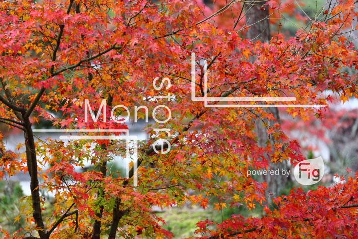 紅葉の写真 Autumn leaves Photography 3383
