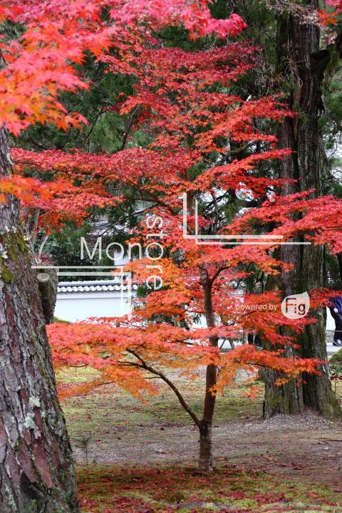 紅葉の写真 Autumn leaves Photography 3384