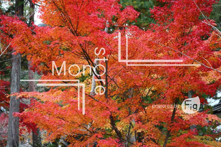 紅葉の写真 Autumn leaves Photography 3386