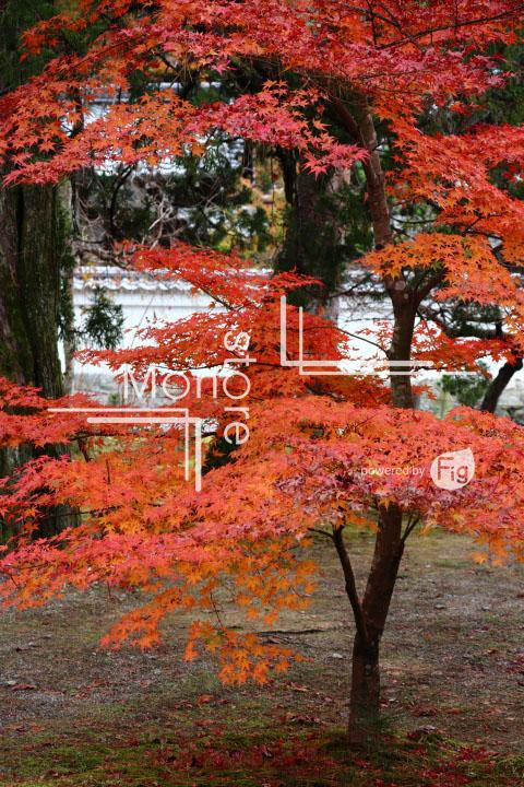 紅葉の写真 Autumn leaves Photography 3388