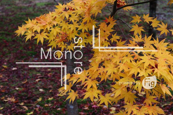 紅葉の写真 Autumn leaves Photography 3389