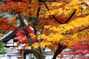 紅葉の写真 Autumn leaves Photography 3391