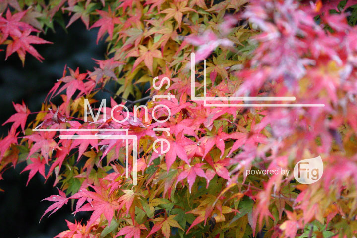 紅葉の写真 Autumn leaves Photography 3401