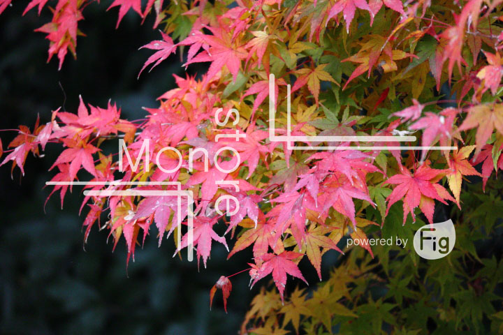 紅葉の写真 Autumn leaves Photography 3403