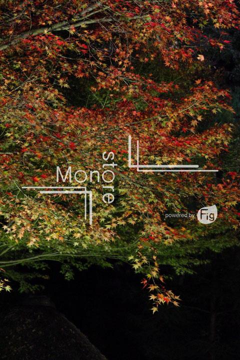 紅葉の写真 Autumn leaves Photography 3474