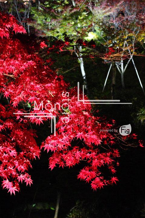 紅葉の写真 Autumn leaves Photography 3514