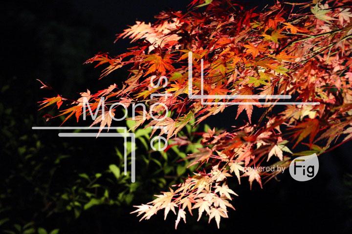 紅葉の写真 Autumn leaves Photography 3532