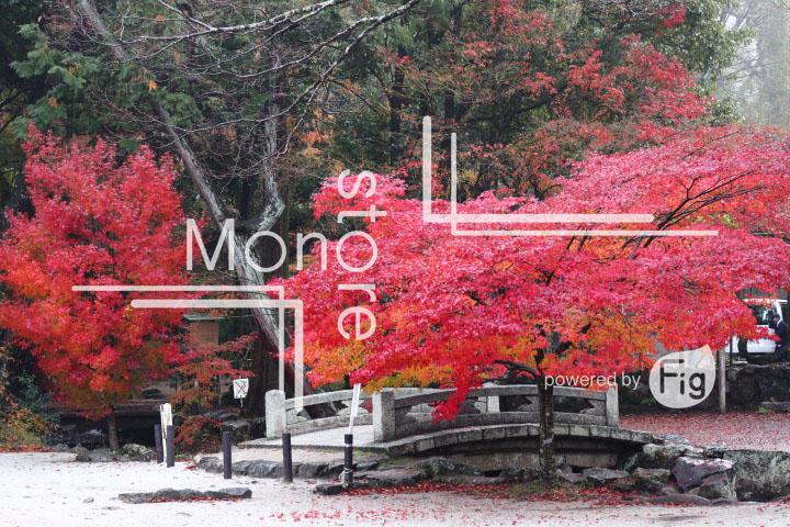 紅葉の写真 Autumn leaves Photography 3539
