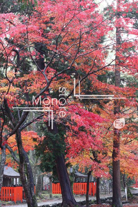 紅葉の写真 Autumn leaves Photography 3546