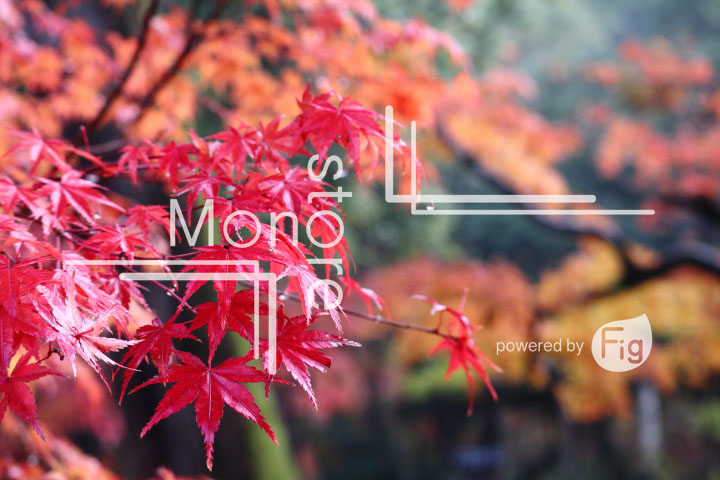 紅葉の写真 Autumn leaves Photography 3554