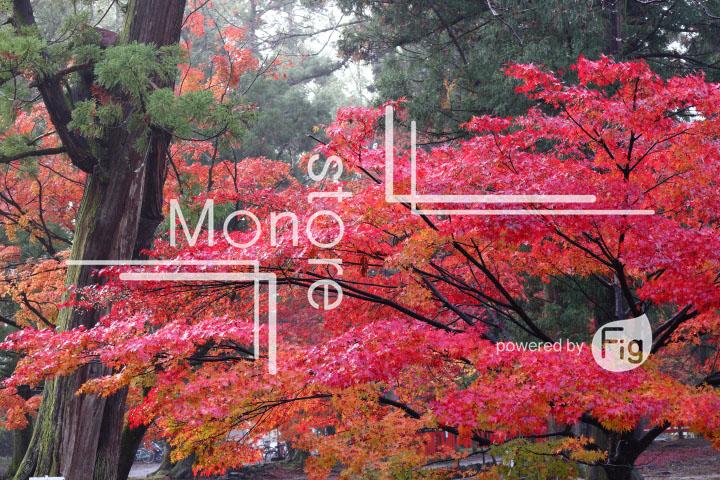 紅葉の写真 Autumn leaves Photography 3555