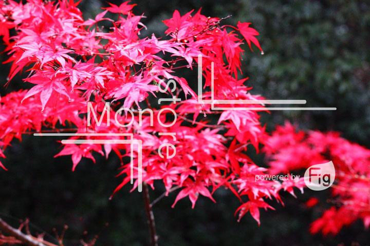 紅葉の写真 Autumn leaves Photography 3562