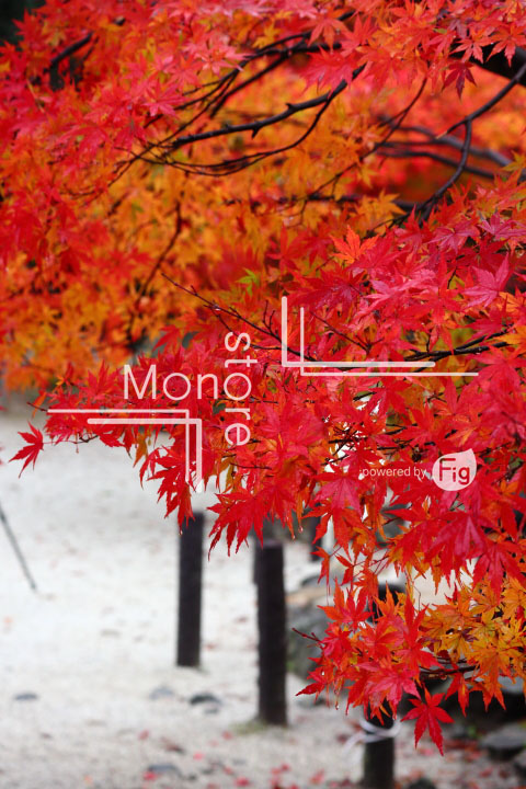 紅葉の写真 Autumn leaves Photography 3574
