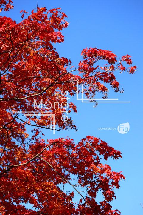 紅葉の写真 Autumn leaves Photography 3577