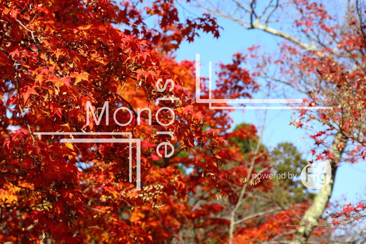 紅葉の写真 Autumn leaves Photography 3581