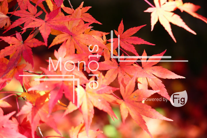 紅葉の写真 Autumn leaves Photography 3582