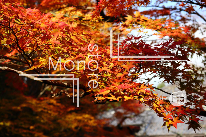 紅葉の写真 Autumn leaves Photography 3590