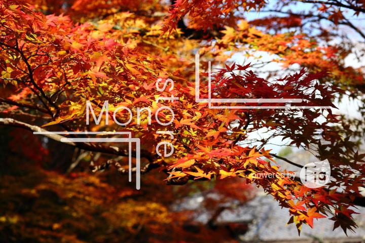 紅葉の写真 Autumn leaves Photography 3590