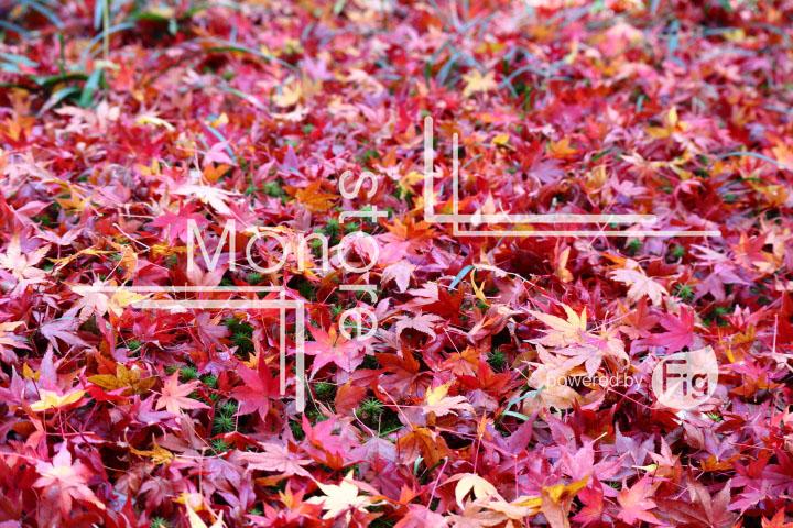 紅葉の写真 Autumn leaves Photography 3593