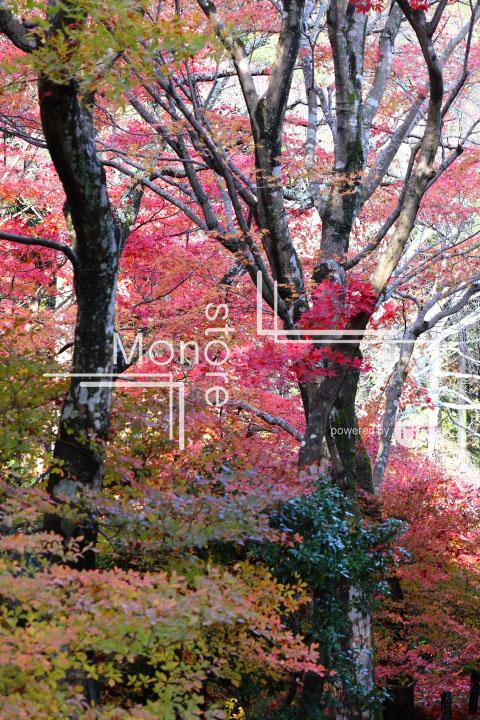 紅葉の写真 Autumn leaves Photography 3598