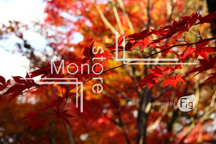 紅葉の写真 Autumn leaves Photography 3599