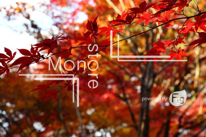 紅葉の写真 Autumn leaves Photography 3600