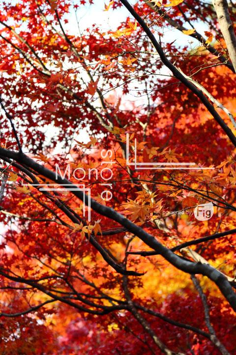 紅葉の写真 Autumn leaves Photography 3603