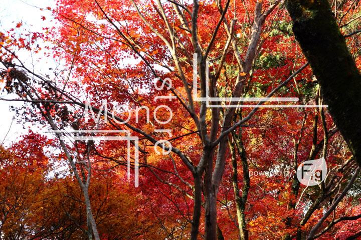 紅葉の写真 Autumn leaves Photography 3604
