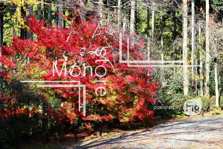 紅葉の写真 Autumn leaves Photography 3605
