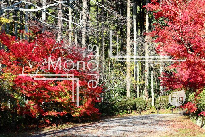 紅葉の写真 Autumn leaves Photography 3606