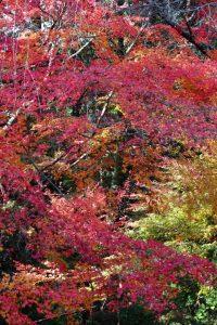 紅葉の写真 Autumn leaves Photography 3608
