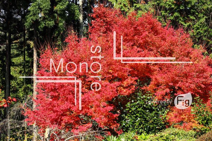 紅葉の写真 Autumn leaves Photography 3609