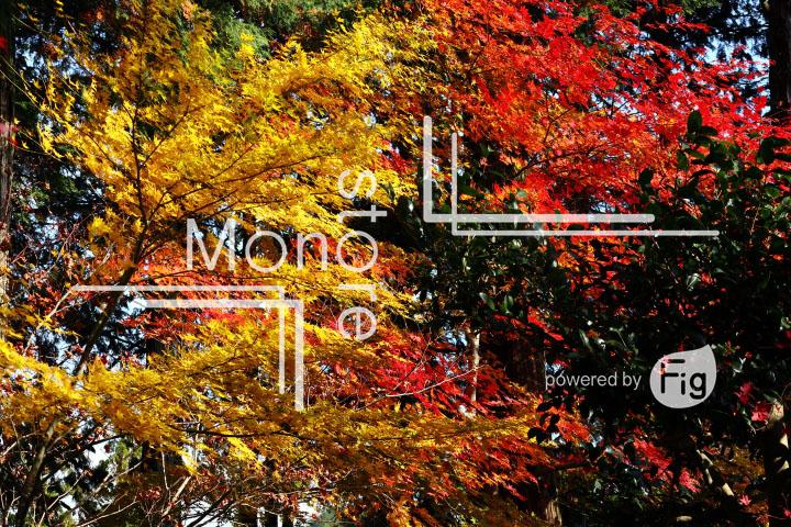 紅葉の写真 Autumn leaves Photography 3612