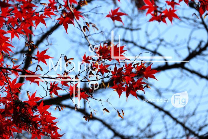 紅葉の写真 Autumn leaves Photography 3613
